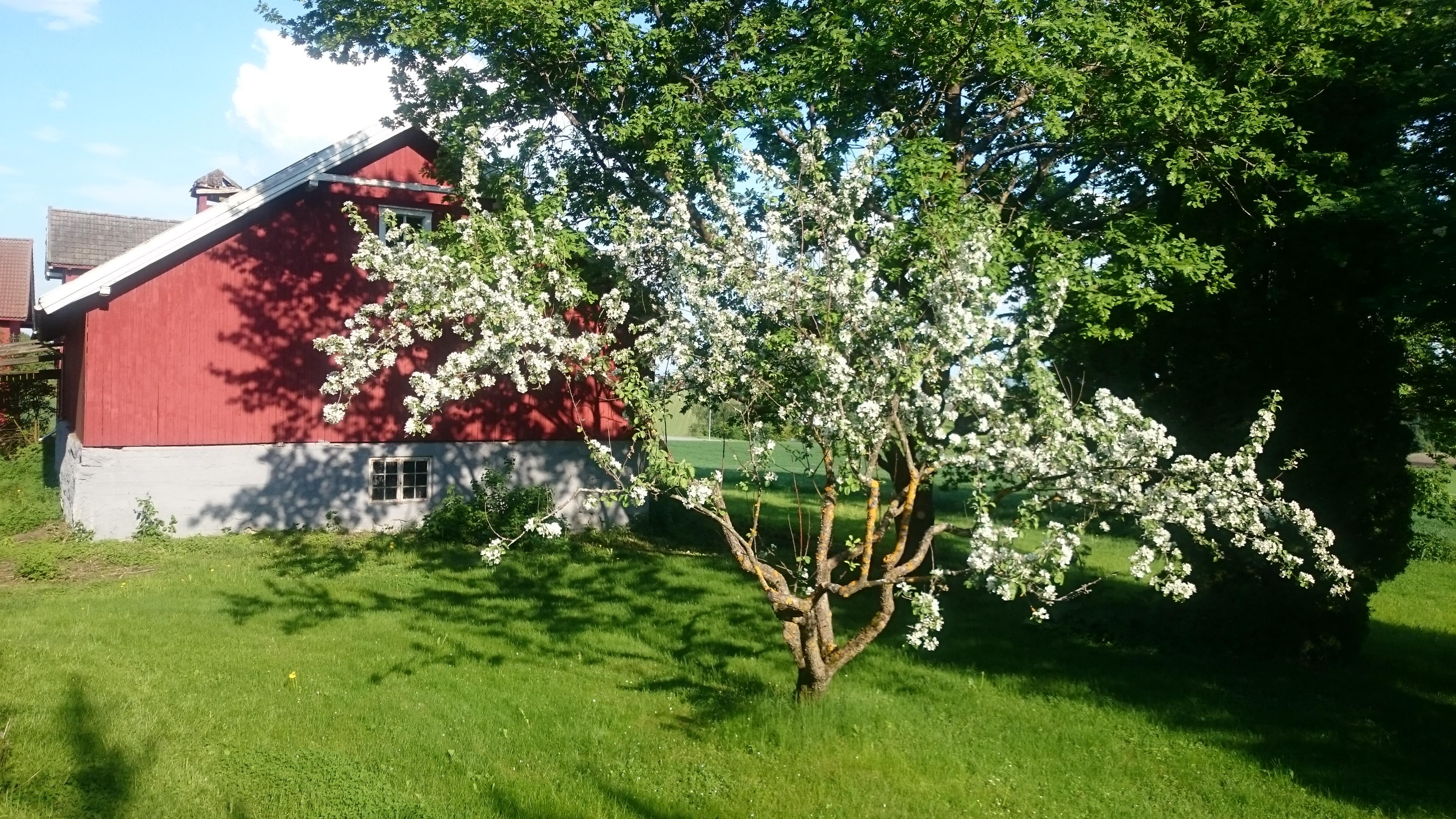 Arbre en fleurs dans le jardin de la maison à Hamar